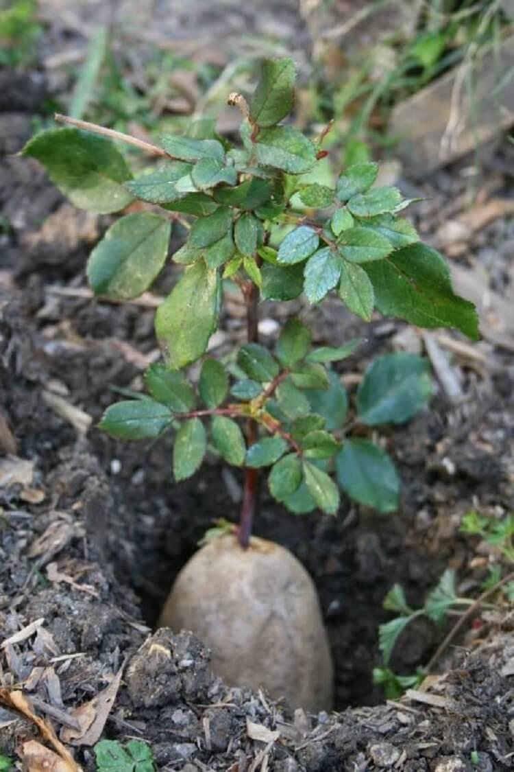 Выращивание розы из букета в картошке 81