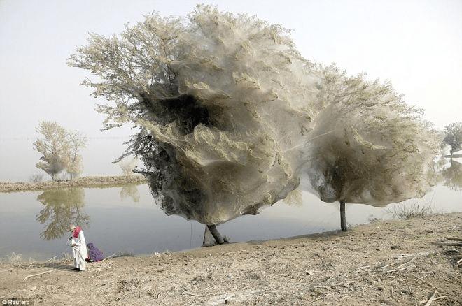 Пауки для того чтобы выжить, взбирались на деревья и плотно оплетали их паутиной.